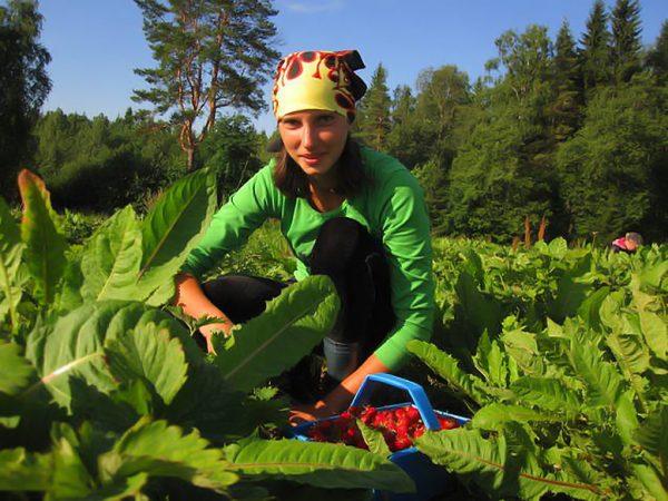 Сезонная работа по сбору ягод