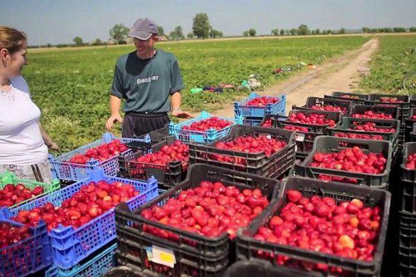 Рабочий возле ящиков с помидорами