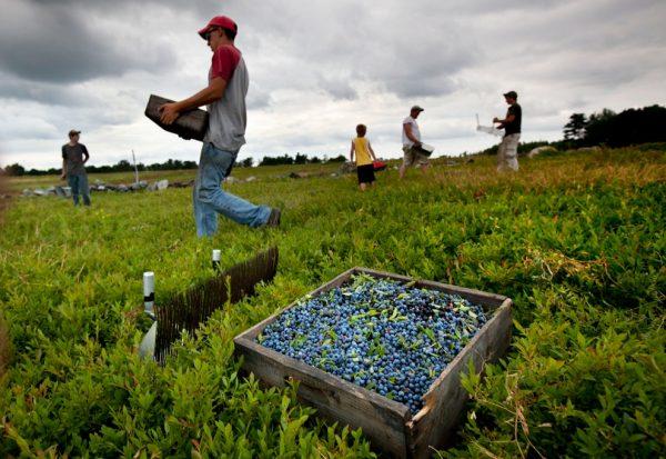 Рабочие собирают урожай ягод