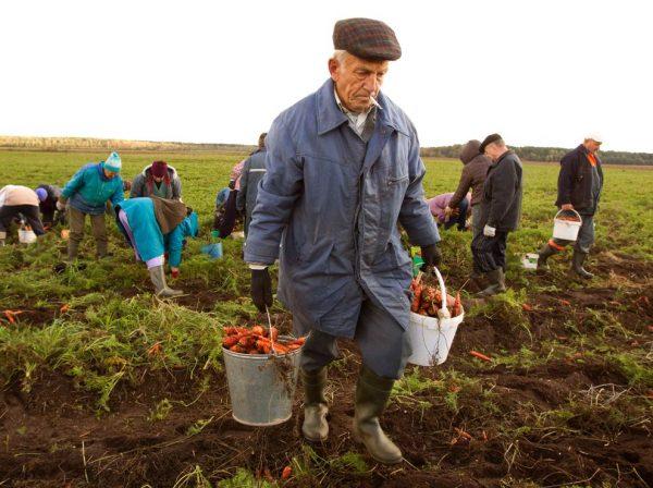 Мужчина с двумя вёдрами морковки