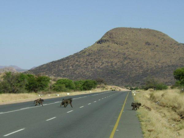 Дорога в Африке и обезьяны, перебегающии её