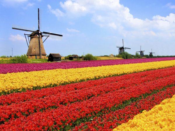Цветочное поле и мельницы