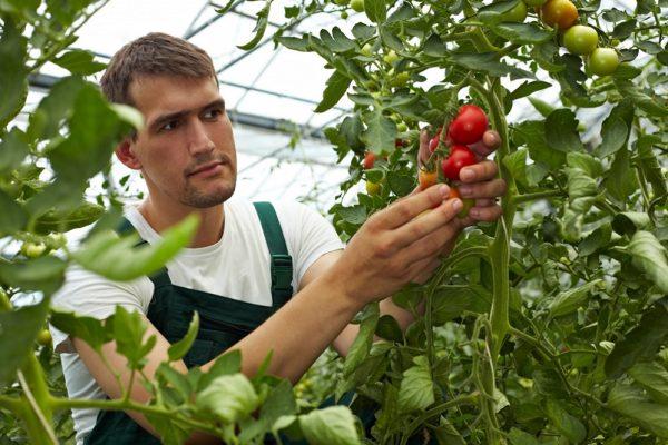 Мужчина срывает помидоры в теплице