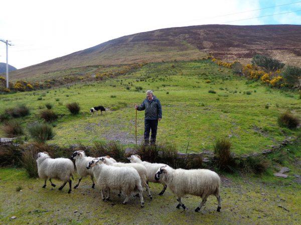 Пастух пасёт овец