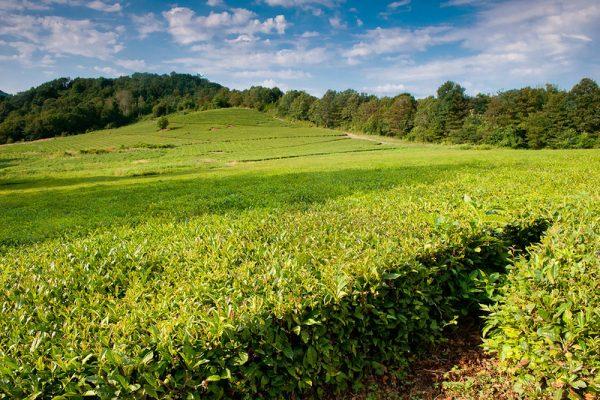 Чайные плантации в Краснодарском крае