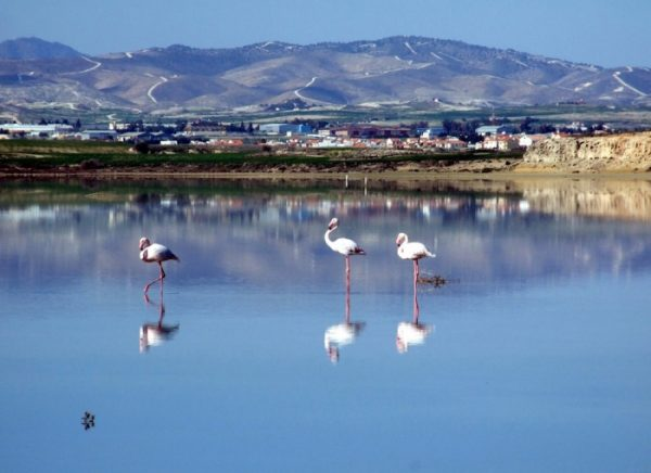Фламинго на озере в городе Ларнака