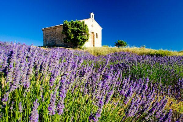 Лавандовое поле во Франции