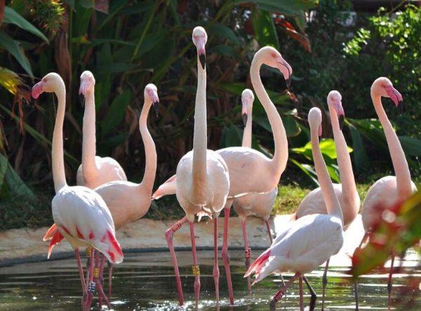 Розовые фламинго в зоопарке Лимасола