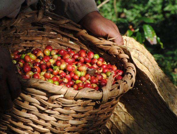 Урожай кофе