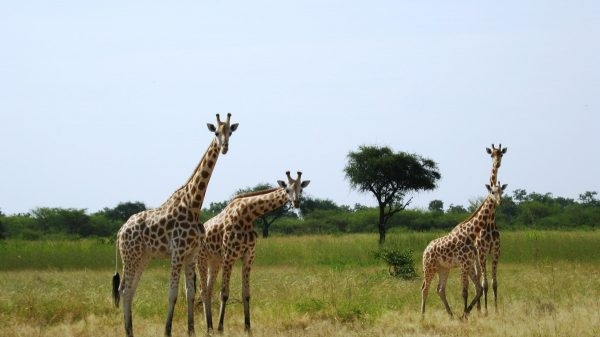 Жирафы в парке Ваза
