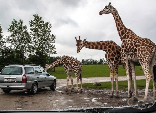 Жирафы в сафари-парке Биллунда