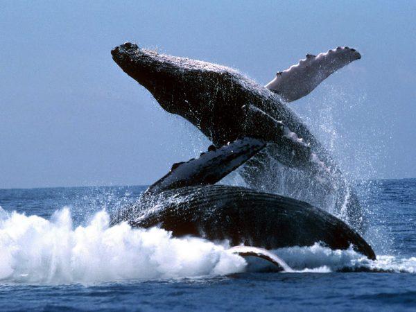 Горбатые киты на полуострове Самана