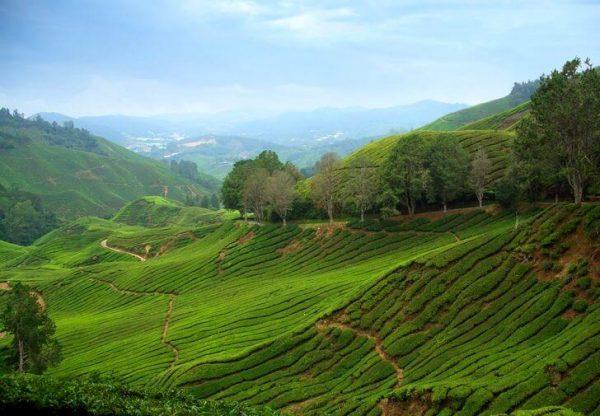 Камерон-Хайлендс в Малайзии