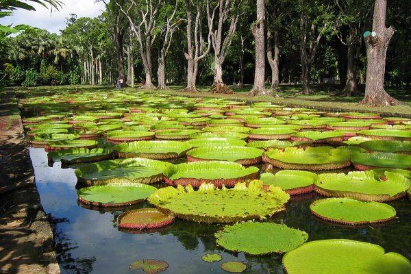 Кувшинки Амазонка Виктория