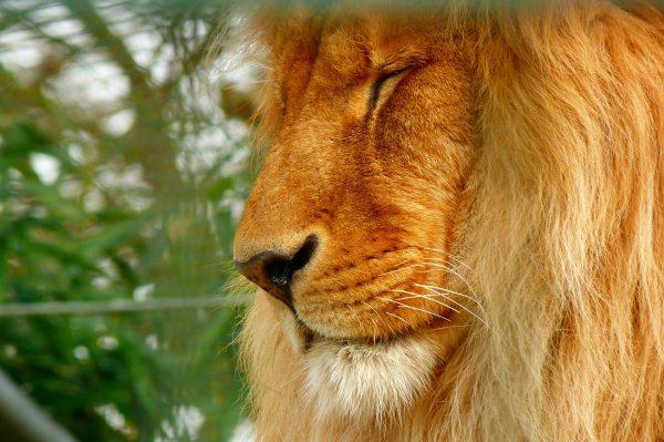 Лев в национальном парке Серенгети