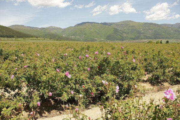 Плантация роз недалеко от села Розино
