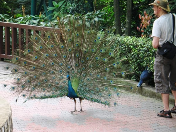 Павлин в парке Куала-Лумпура