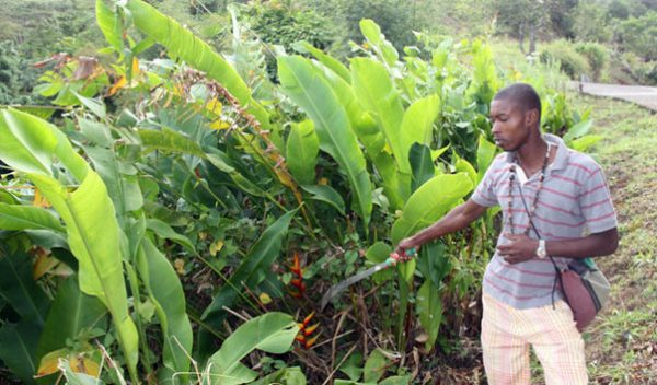 Работа на плантации мускатного ореха
