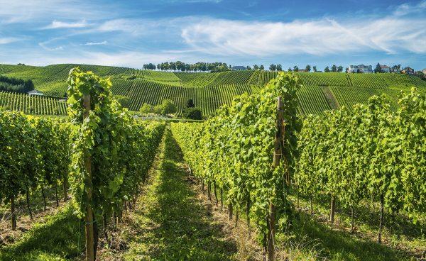 Виноградники в долине Мозеля