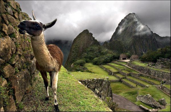 Альпака на фоне Мачу-Пикчу