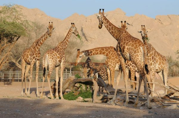 Зоопарк столицы Саудовской Аравии
