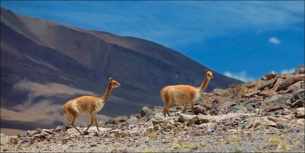 Две викуньи в окрестностях озера Титикака
