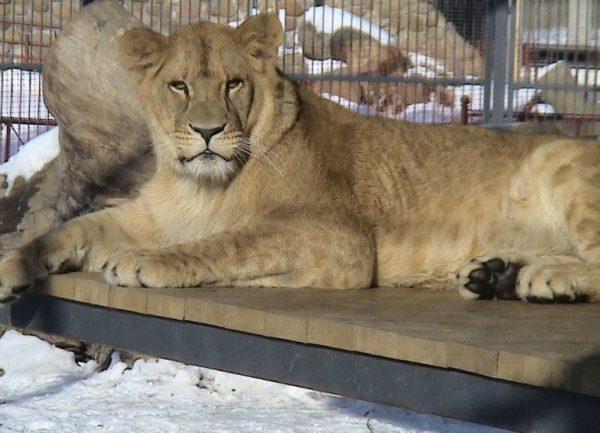 Лев в зоопарке Гродно