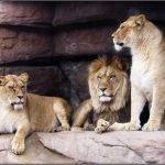 Львы в городском зоопарке