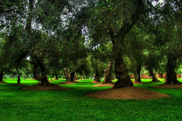 Оливковая роща в Сан-Исидро