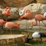 Розовые фламинго стоят в воде