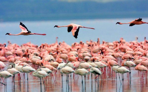 Зимовка фламинго на Солёном озере в Ларнаке