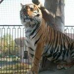 Тигр в Минском зоопарке