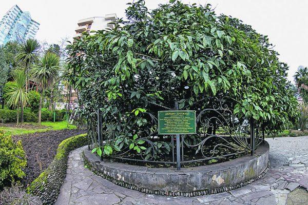 Дерево Дружбы в Сочи