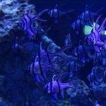 Скалярии синего цвета