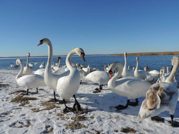 Лебеди на берегу моря зимой