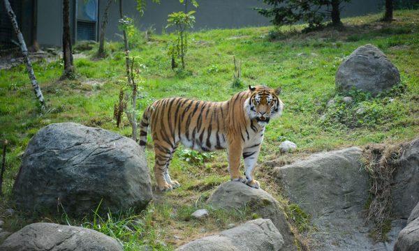 Тигр в Дублинском зоопарке