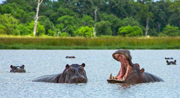 Бегемоты озера Маньяра