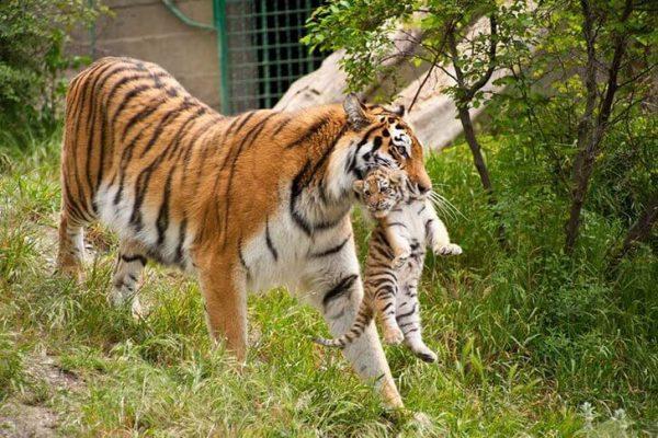 Тигрица с детёнышем в сафари-парке