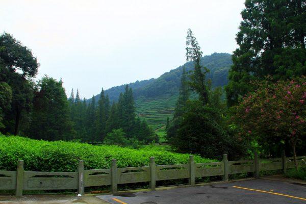 Вид на плантации чая лунцзин в Ханчжоу