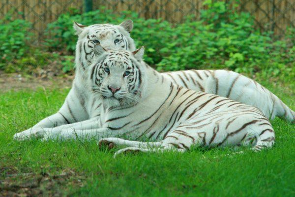Белые индийские тигры