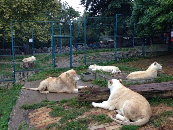Львы в белградском зоопарке