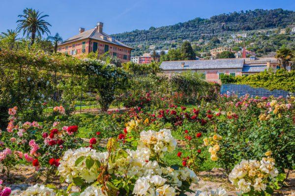 Кустарники роз в парке Нерви