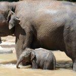 слониха и слонёнок