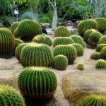 Бочкообразные кактусы в парке