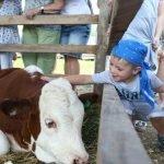 Ребёнок гладит корову на сырном фестивале в Истре