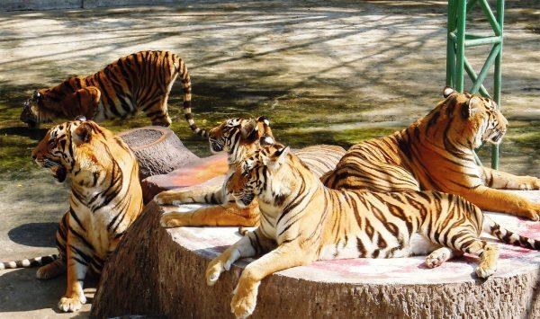 Львы на территории зоопарка в Сираче