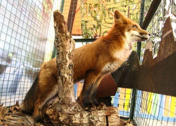 Рыжая леса в контактном зоопарке Ржева