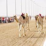 Верблюды бегут дистанцию на ипподроме