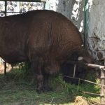 Буйвол в загоне Нальчикского зоопарка