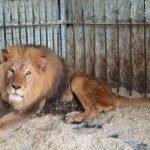 Лев в вольере Нальчикского зоопарка